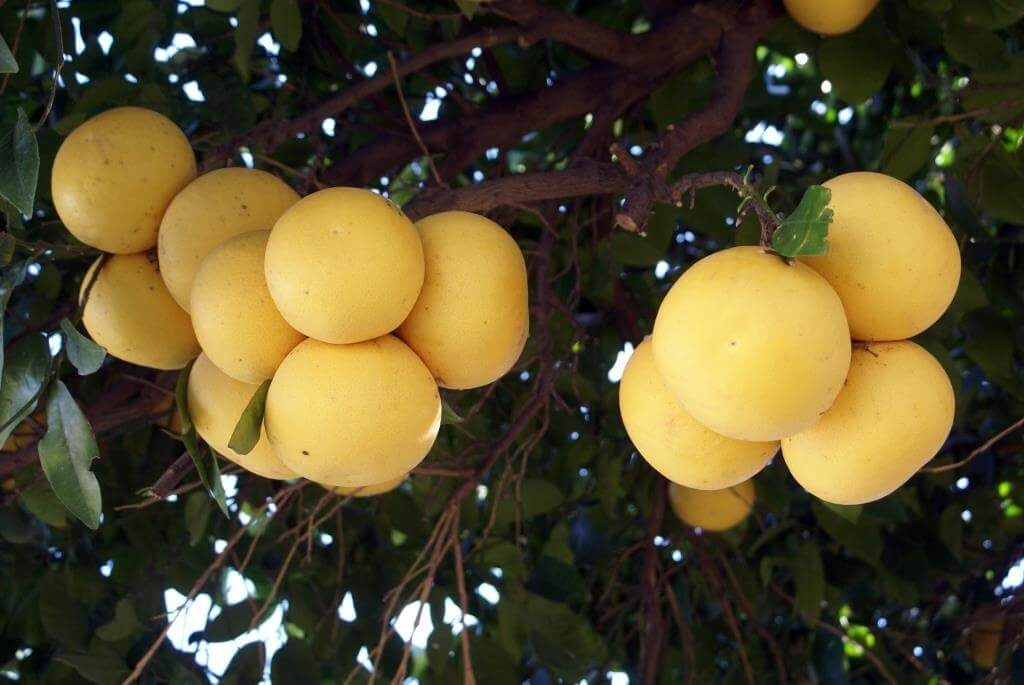 top-10-faktiv-chym-korysnyj-grejpfrut-vitaminy-v-grejpfruti-takozh-shkidlyvi-vlastyvosti-3