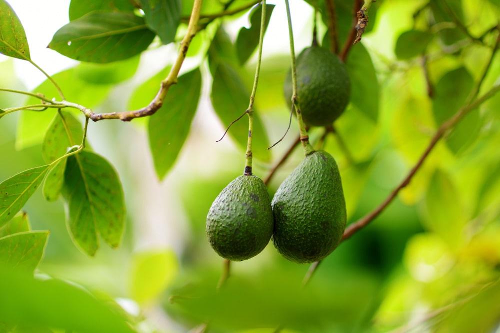 korysnyj-frukt-yak-vybraty-avokado-ta-pravylno-jogo-yisty-2